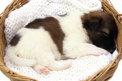 Little puppy sleeping in basket Royalty Free Stock Images