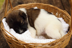 Little puppy sleeping in basket Stock Image