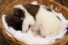 Little puppy sleeping in basket Stock Photography