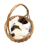 Little puppy sleeping in basket Stock Images