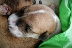 The little puppy is sleeping. The little puppy is sleeping royalty free stock images
