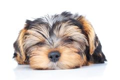 Little puppy sleeping Royalty Free Stock Image