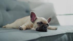 Little Puppy Sleeps on Grey Sofa.