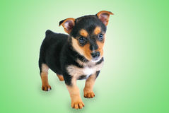 Little Puppy Royalty Free Stock Photo