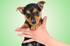 Little Puppy Royalty Free Stock Image