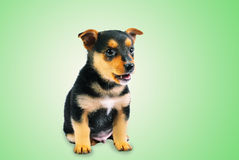 Little Puppy Royalty Free Stock Photography