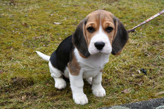 Little Puppy Royalty Free Stock Photos