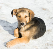 Little puppy in the snow Stock Image