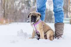 Little puppy in the snow. The little puppy is playing in the snow royalty free stock photography