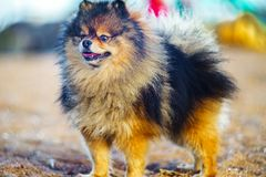 Little puppy Spitz stands in full growth on the background of sand and beach. funny smiling dog with an open mouth. Beautiful little puppy Spitz stands in full royalty free stock photography