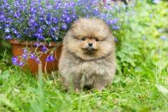 Little puppy Spitz walking. On the green grass stock photos