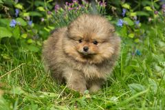 Little puppy Spitz walking. On the green grass royalty free stock photo