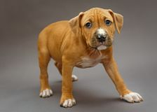 Puppy Staffordshire Terrier Stock Images