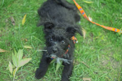 Little puppy standby Royalty Free Stock Photos