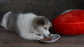 The little puppy was lying next to the pillow in the shape of a heart. By eating, playing and stretching stock video
