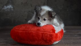 The little puppy was lying on a pillow in the shape of a heart. Puppy sitting on red and white pillow in the shape of a heart. Grey background, selective focus stock video footage