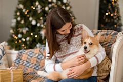 Little puppy Welsh Corgi Cardigan lies on the couch on the lap of a girl royalty free stock images