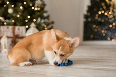 Little puppy Welsh Corgi Cardigan plays with his leash in front of Christmas tree stock photo
