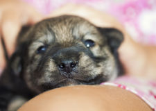 little puppy with a wet nose is on the hands Royalty Free Stock Images