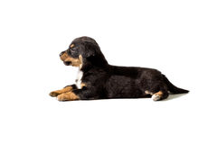 Little puppy on white background Royalty Free Stock Photos