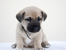 Little puppy wondering the camera Royalty Free Stock Photography