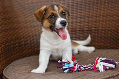 Little puppy in a wooden chair. Little puppy is lying in a wooden rattan chair stock photography