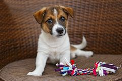 Little puppy in a wooden chair. Little puppy is lying in a wooden rattan chair stock image