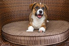 Little puppy in a wooden chair. Little puppy is lying in a wooden rattan chair royalty free stock photography