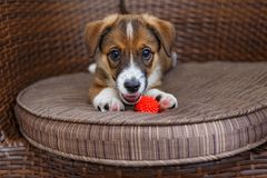 Little puppy in a wooden chair. Little puppy is lying in a wooden rattan chair stock photos