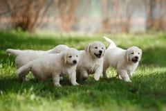 Little puppys Golden retriever Stock Photo