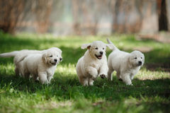 Little puppys Golden retriever Royalty Free Stock Photo
