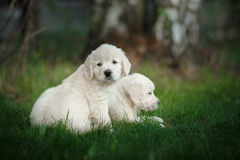 Little puppys Golden retriever Stock Photo