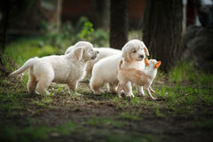 Little puppys Golden retriever Royalty Free Stock Photos