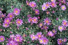 Little purple daises Stock Images