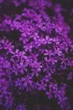 Little purple flowers stock photos