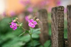 Little purple flowers in garden next to woodden fence royalty free stock images