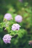 Little Purple Flowers. Tiny lavendar flowers in the green garden Stock Image