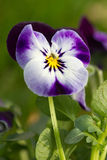 Little purple pansy Royalty Free Stock Image