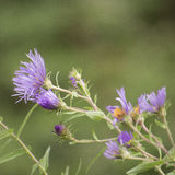 Little purple wild flowers blooming Royalty Free Stock Photos