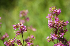 Little purple wild flowers in the forest Royalty Free Stock Photo