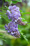 Little purple wisteria flowers Royalty Free Stock Photos