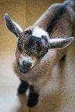 Little Pygmy Goat Stock Image