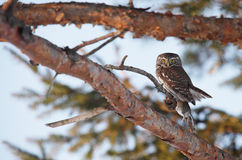 Little Pygmy owl with it's prey. Little mouse Royalty Free Stock Photos