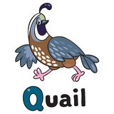 Little quail for ABC. Alphabet Q. Children  illustration of little funny quail running on the field. Alphabet Q Stock Photos