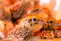 Little quail in brooder close up stock photography