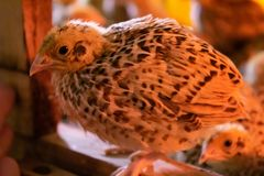 Little quail in brooder royalty free stock photos