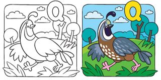 Little quail coloring book. Alphabet Q. Coloring picture or coloring book of little funny quail running on the field. Alphabet Q Stock Image