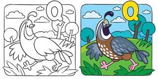 Little quail coloring book. Alphabet Q Stock Image