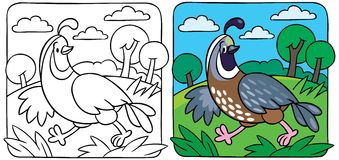 Little quail coloring book Stock Photo