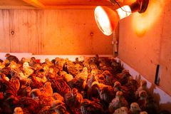 Little quails in brooder under the infrared lamp stock photography